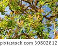 楊梅 楊梅屬植物 亞洲香(楊)梅 30802812