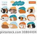 Guinea Pig breeds icon set flat style isolated  30804404