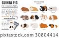 Guinea Pig breeds icon set flat style isolated  30804414
