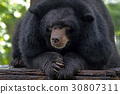 bear, black, wildlife 30807311