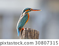 Common Kingfisher Female Cute Birds of Thailand 30807315
