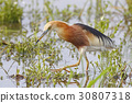 Javan Pond heron Ardeola speciosa Bird of Thailand 30807318