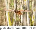 Portrait of flying long-eared owl - Asio otus 30807939