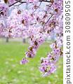 cherry blossom, cherry tree, sargent cherry 30809505