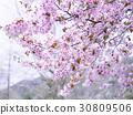 cherry blossom, cherry tree, sargent cherry 30809506