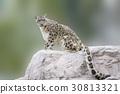 snow, leopard, wild 30813321