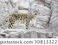 snow, leopard, wild 30813322