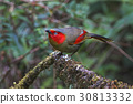 Red-faced Liocichla Birds of Thailand 30813332