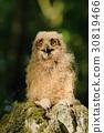 Horned owl baby 30819466