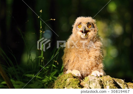 Young horned owl 30819467