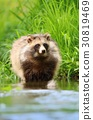 Nyctereutes, procyonoides, raccoon 30819469
