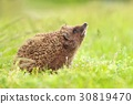 Beautiful hedgehog sniffing 30819470