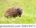 Hedgehog Erinaceus roumanicus 30819471