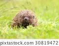Cute Erinaceus roumanicus 30819472