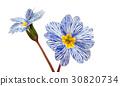 Primrose flower isolated 30820734