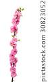 sakura flowers 30823052