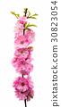 sakura flowers 30823054