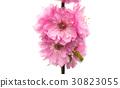 sakura flowers 30823055