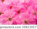 sakura flowers 30823057