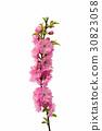 sakura flowers 30823058