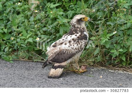 自然紀念碑,蘆葦老鷹的幼鳥 30827783