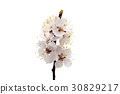 Flowering apricot branch isolated 30829217
