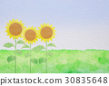 sunflower, sunflowers, grass 30835648
