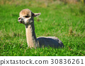 Alpaca on green grass 30836261