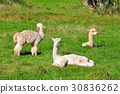 alpaca, animal, animals 30836262