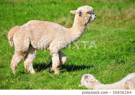 Alpaca on green grass 30836264