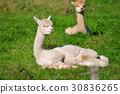 Alpaca on green grass 30836265