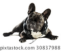 bulldog, dog, animal 30837988