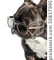 bulldog, dog, sunglasses 30837995