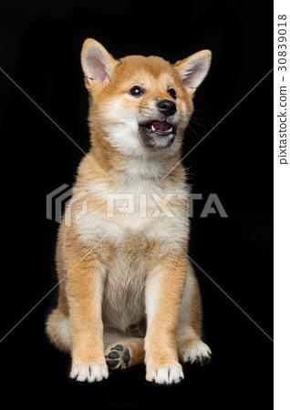 Beautiful shiba inu puppy  30839018