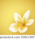White and yellow Plumeria Flower 30841987