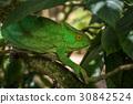 Green chameleon of Madagascar 30842524