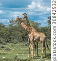 Giraffes in Etosha national park, Namibia 30842532
