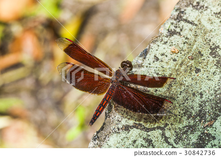 dragonfly perched on a twig 30842736