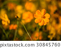 Beautiful Cosmos flowers. 30845760