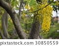꽃, 도둑, 황금 비, 가로수, 여름, 여름 30850559