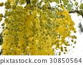 꽃, 도둑, 황금 비, 가로수, 여름, 여름 30850564