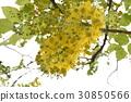 꽃, 도둑, 황금 비, 가로수, 여름, 여름 30850566