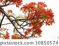 꽃, 가로수, 피닉스 꽃, 졸업, 여름, 여름 30850574