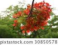 꽃, 가로수, 피닉스 꽃, 졸업, 여름, 여름 30850578