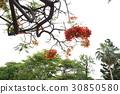 꽃, 가로수, 피닉스 꽃, 졸업, 여름, 여름 30850580