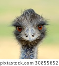 Close ostrich bird in nature 30855652