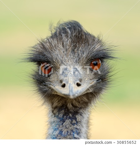 Close ostrich bird in nature 30855652