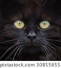 Brown cat portrait 30855655