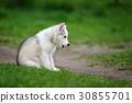 dog husky animal 30855701