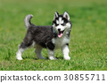 dog husky animal 30855711